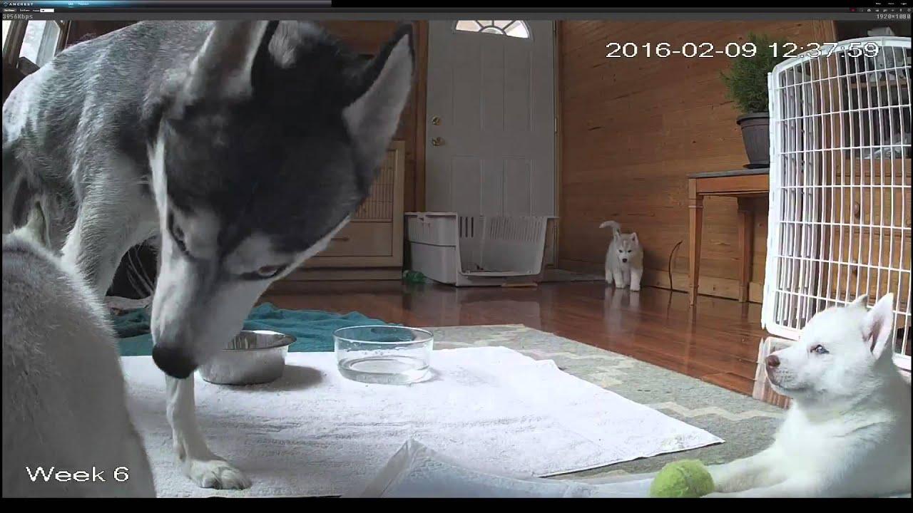 siberian husky puppy live stream hd youtube