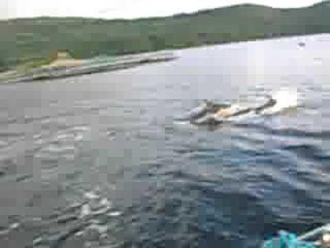 dolphins loch carron