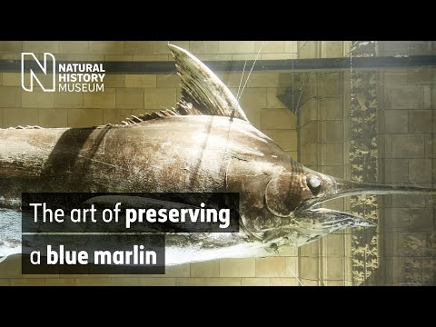 The art of preserving a blue marlin | Natural History Museum