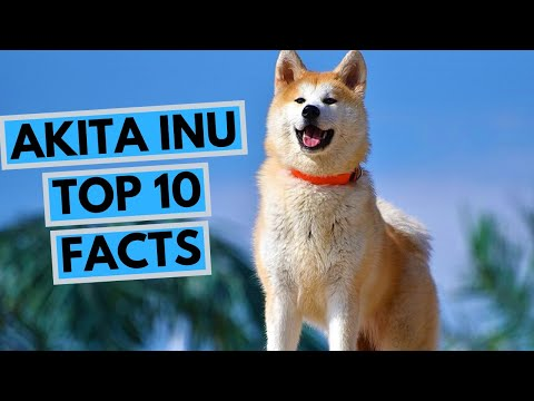 Akita Inu - TOP 10 Interesting Facts
