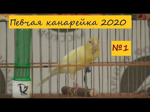 Конкурс Русской канарейки овсяночного напева . участник №1
