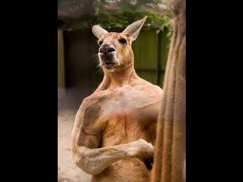 Jacked kangaroo do you even lift - photo#2