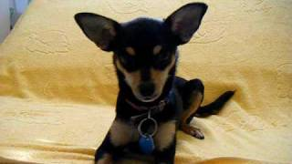 My Miniature Pinscher Puppy.