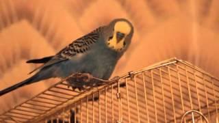Попугай: Чирикает
