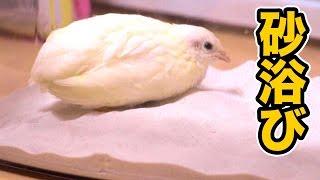 姫ウズラ始めての砂浴び!! 【成長日記】 PDS