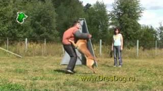 Бенг.Тренировка облаивания и конвоирования