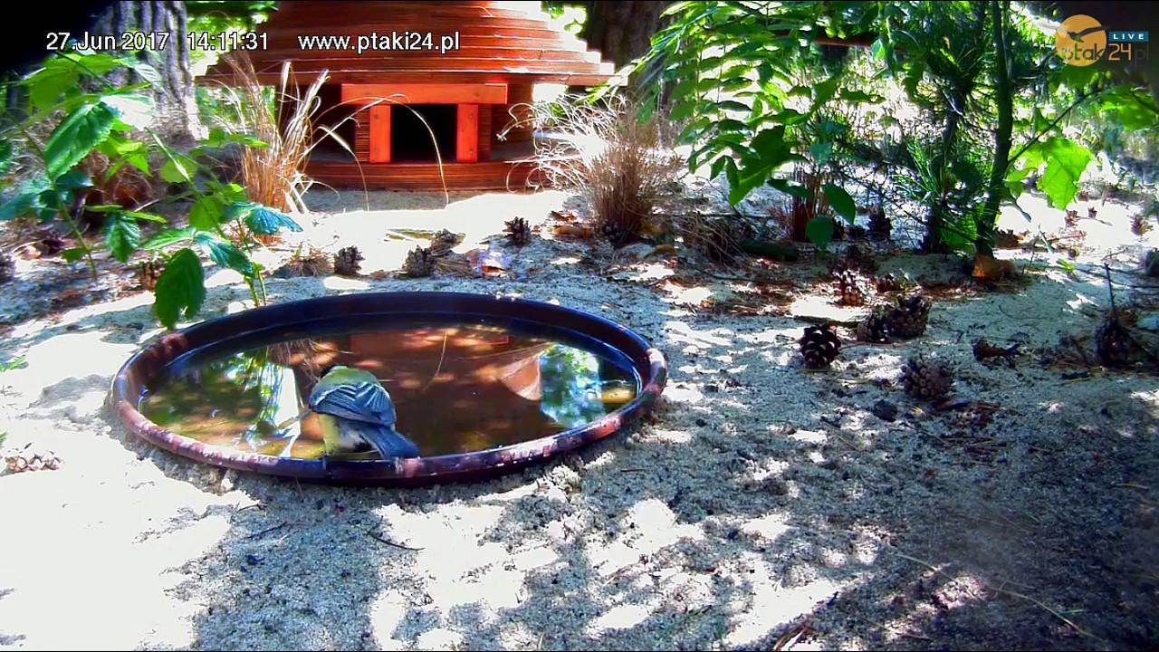 Kąpiel Bogatki w pojemniku z wodą przed domkiem dla jeży