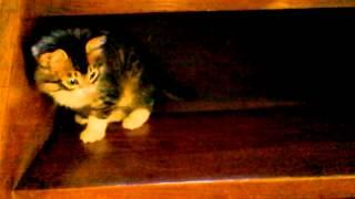 危機一髪子猫が階段から落下!! -A kitten falls over stairs-