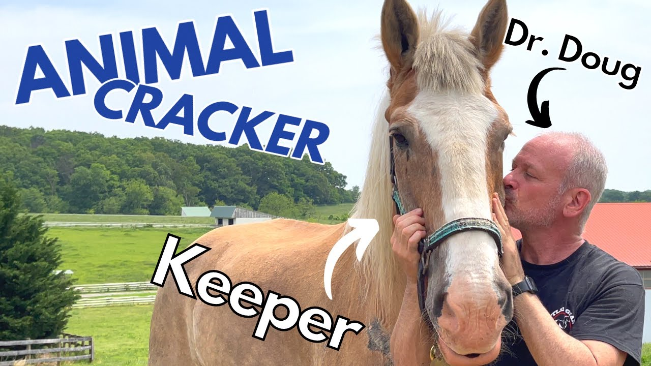 ABUSED & SCARRED DRAFT HORSE ~ GETS EMOTIONAL SESSION with THE ANIMAL CRACKER!