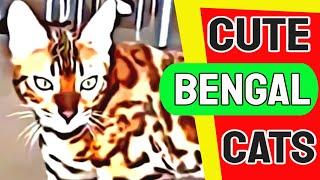 Bengal Cats   Cute Bengal Kittens