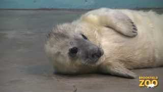 Grey Seal Pup is Growing By Leaps and Bounds!