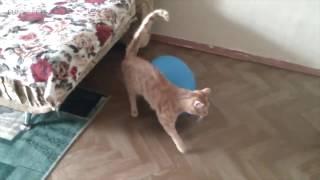 Кошки VS Воздушные шары 😂🎈 Смешные кошки играют с воздушными шарами Смешные домашние животные