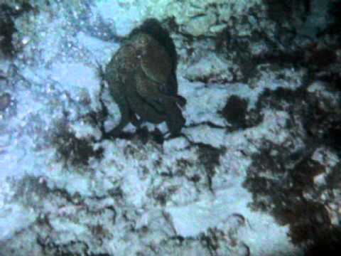 pulpo, octopus, Night, diving, Night Diving, scuba, San Andres, Scuba Diving, Banda Dive