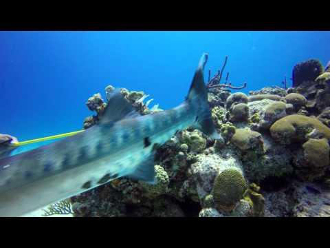 Barracuda Devours Lionfish UHD 4k