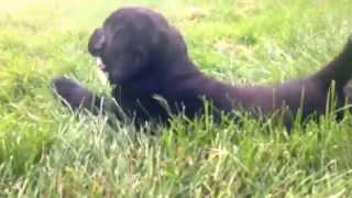 Black Labrador Retriever Puppy Being Cute