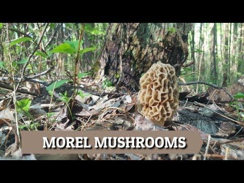 Morel Mushroom Hunting In Kentucky