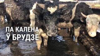 Больные животные и плохое молоко: чем грозит содержание колхозных коров в воде и грязи
