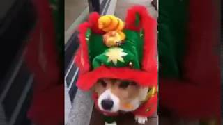 Dogs in costume; Corgi dressed up the Chinese New Year