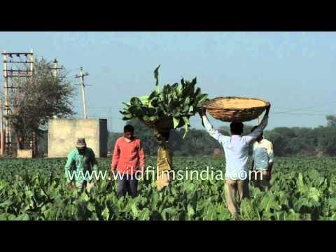 Cauliflower harvest in the winter sun : New Delhi still has farmland!