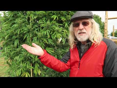 Grow Marijuana: Oregon Sungrown Growers Guild Big Marijuana Plants