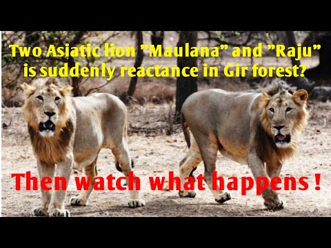 Two Asiatic lion Maulana and Raju is suddenly reactance in Gir forest? And then watch what happens ?
