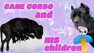 Как рождаются щенки у собаки Кане Корсо. #canecorso