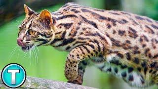 Asian Leopard Cat | World's Weirdest Animals