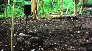 Wild Boar Archery Hunting in Hawaii with Calvin Hom & Hook You Up Outfitters