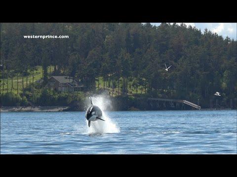 Bigg's (transient) Killer Whales on an EPIC Steller Sea lion hunt! San Juan Island, WA