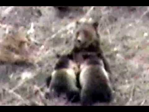 Grizzly bear nursing cubs in Yellowstone