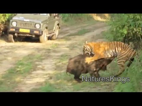 Wild Boar Attacks Human Tiger Attacks Wild Boa...