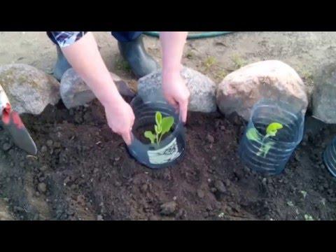 Как уберечь баклажаны от колорадского жука видео