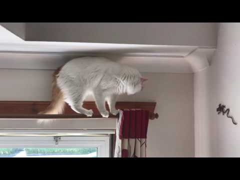 Turkish Van Cat, Bulgaria and my gecko