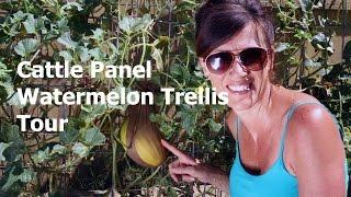 Cattle Panel Vertical Watermelon Trellis Tour