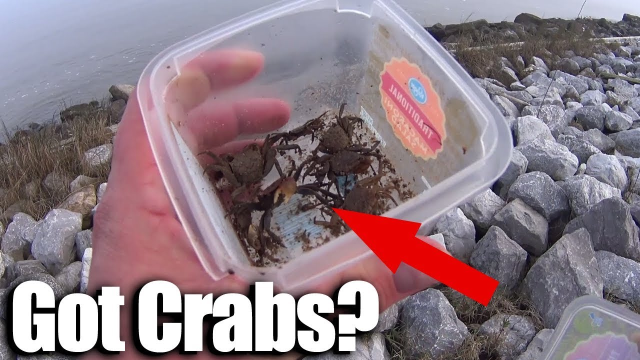 How to catch Crabs for Sheepshead! Beginner Saltwater ...Saltwater Sheepshead Bait