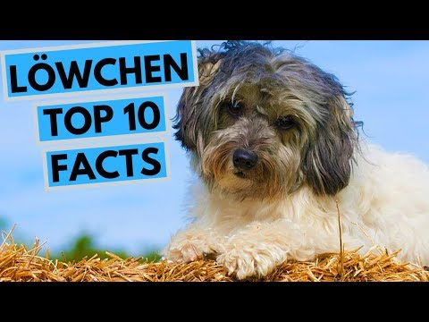 Lowchen - TOP 10 Interesting Facts