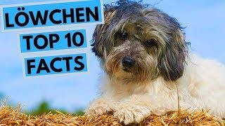 Lowchen  TOP 10 Interesting Facts