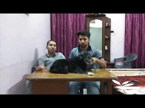 Pet Care- My Home Breed Pomeranian