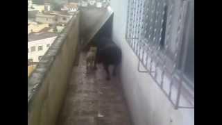 Poodle Toy X Rottweiler   Tamanho Não é Documento...