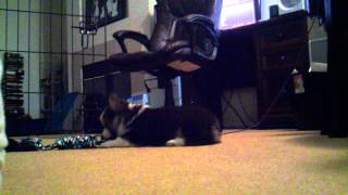 Baby Corgi Playing