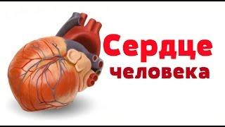 Видео урок по анатомии. Сердце / Серце