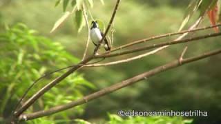 Bigodinho (Sporophila lineola)