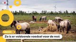 150 konikpaarden verhuizen van Nederland naar Wit Rusland
