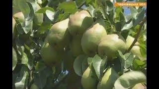 С трех гектаров   60 тыс  грн  Можно ли заработать на фруктах