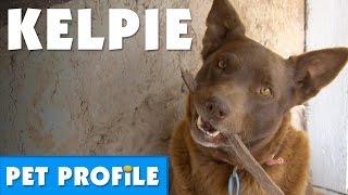 Australian Kelpie Pet Profile | Bondi Vet