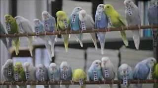 インコ式静岡新聞 30秒ver.(budgies' news service of Shizuoka Newspaper in 2030) thumbnail