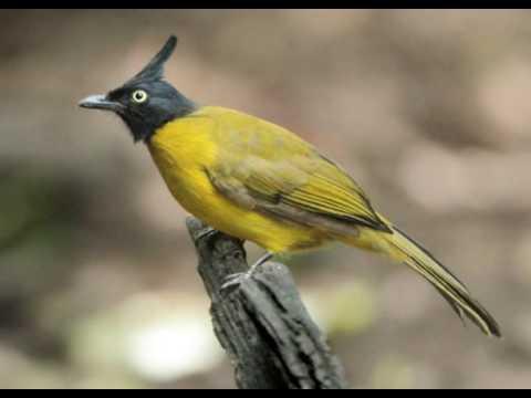 State bird of Goa - Bulbul de orelha amarela