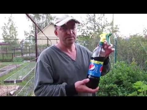 Напиток против галловой тли на красной смородине (часть 1)