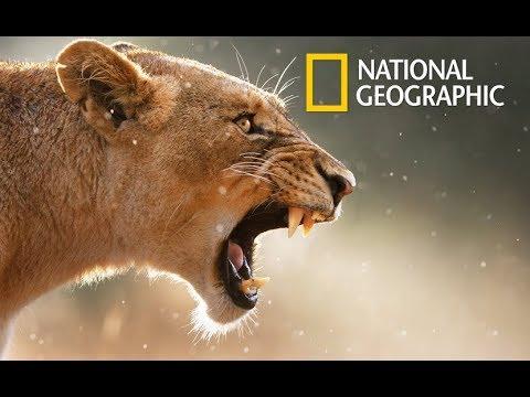 Wildlife Lion Queen - Own Rules (Nat Geo Wild)