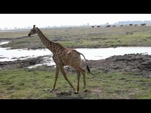 A Galloping Giraffe!